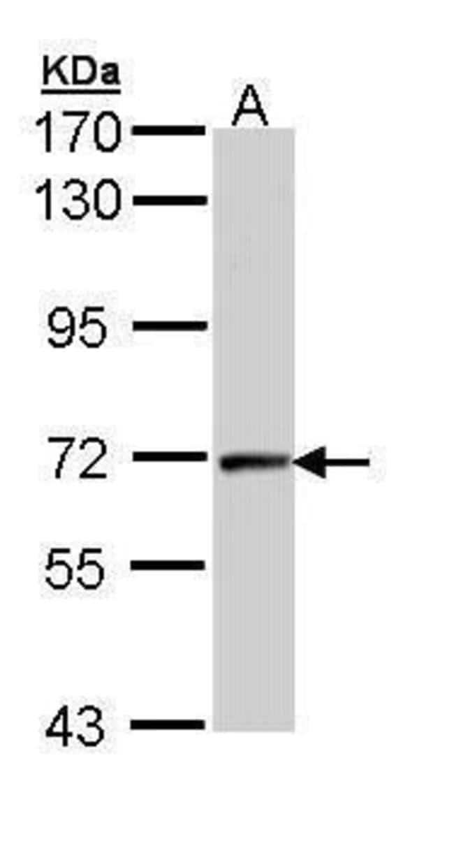 Cyclin T2 Rabbit anti-Human, Polyclonal, Invitrogen 100 µL; Unconjugated