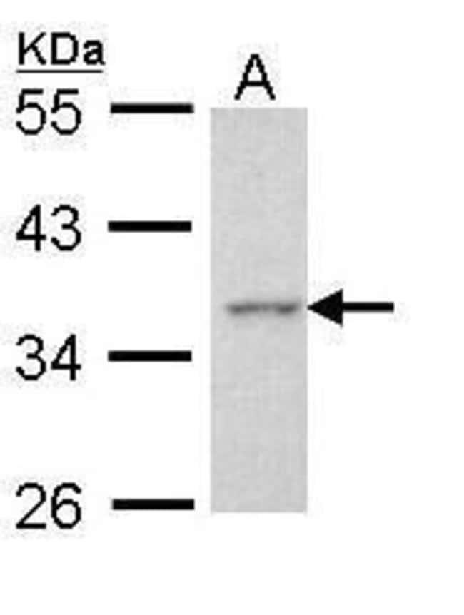 Apoptosis-Enhancing Nuclease Rabbit anti-Human, Polyclonal, Invitrogen