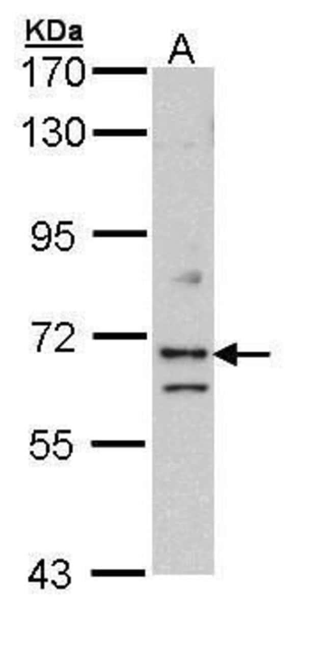EXOC7 Rabbit anti-Human, Polyclonal, Invitrogen 100 µL; Unconjugated