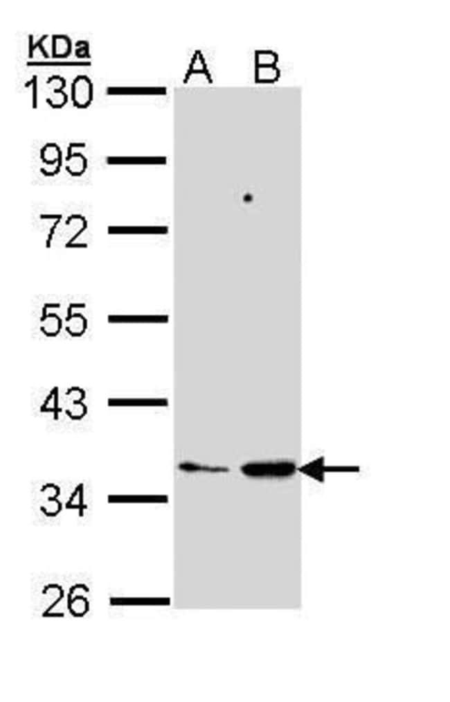 PTGES2 Rabbit anti-Human, Polyclonal, Invitrogen 100 µL; Unconjugated