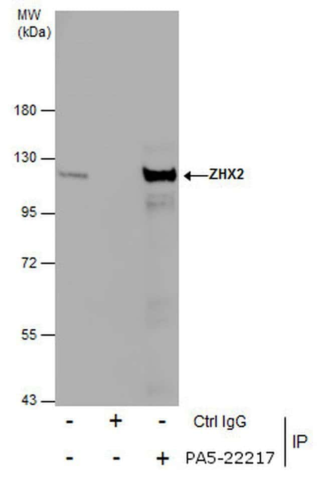 ZHX2 Rabbit anti-Human, Polyclonal, Invitrogen 100 µL; Unconjugated