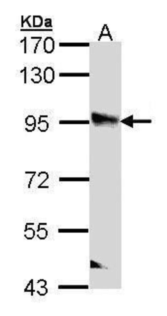 PPFIBP2 Rabbit anti-Human, Polyclonal, Invitrogen 100 µL; Unconjugated