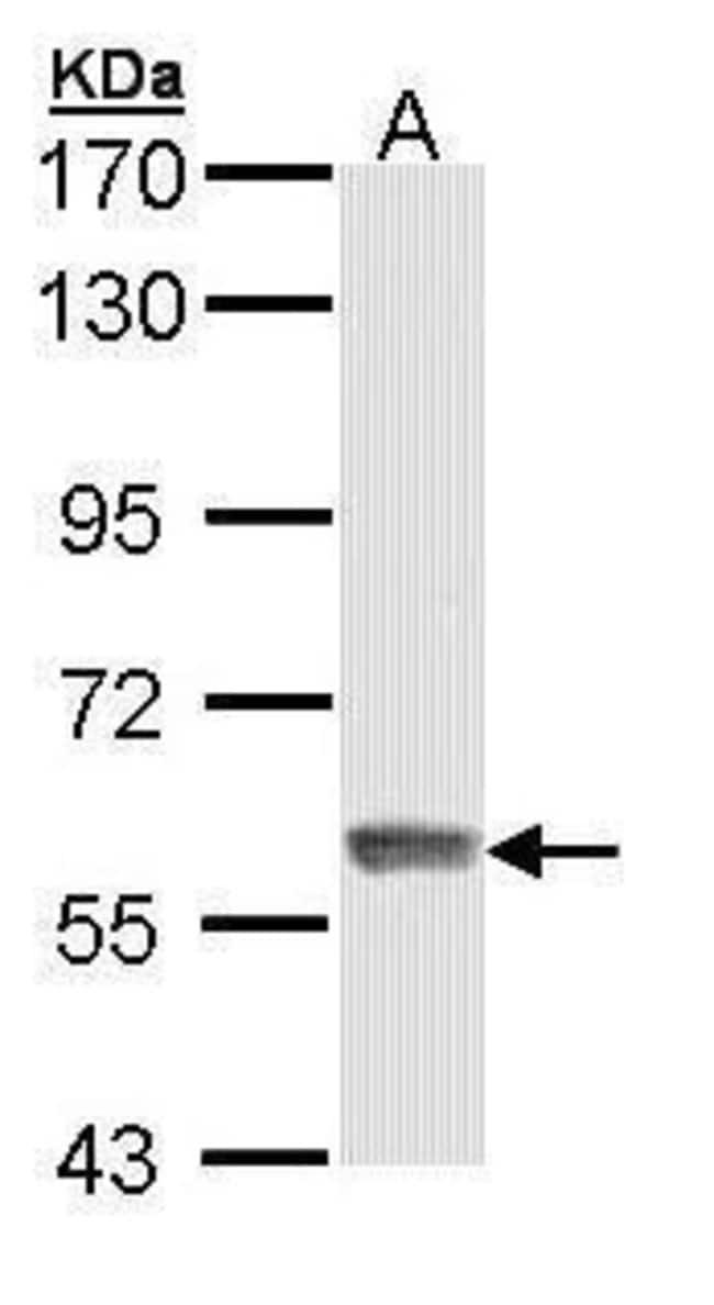 IFIT3 Rabbit anti-Human, Polyclonal, Invitrogen 100 µL; Unconjugated
