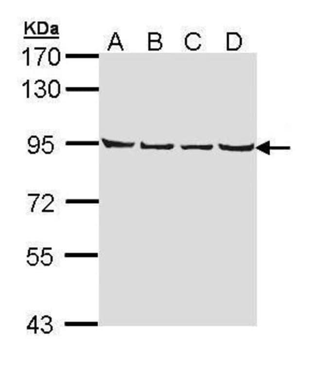 LETM1 Rabbit anti-Human, Mouse, Polyclonal, Invitrogen 100 µL; Unconjugated