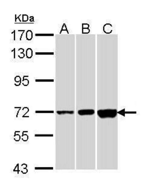 CNGA2 Rabbit anti-Human, Polyclonal, Invitrogen 100 µL; Unconjugated