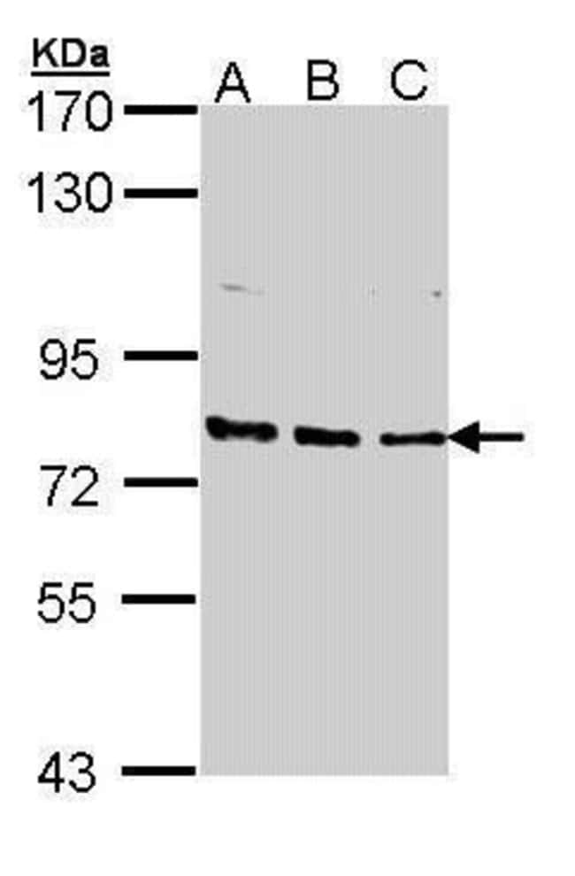 XPB Rabbit anti-Human, Mouse, Polyclonal, Invitrogen 100 µL; Unconjugated