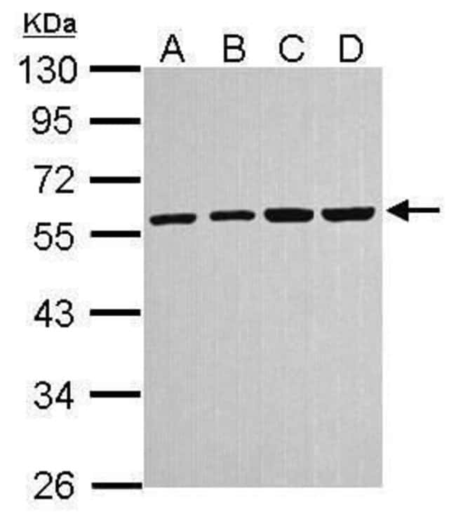 alpha Tubulin, Polyclonal, Invitrogen 100µL; Unconjugated