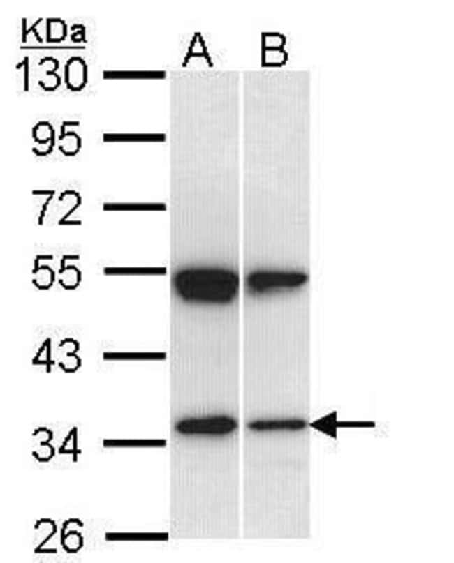 SH3GL1 Rabbit anti-Human, Polyclonal, Invitrogen 100 µL; Unconjugated