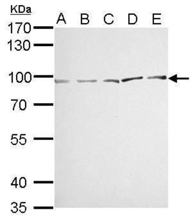 MVP Rabbit anti-Human, Mouse, Polyclonal, Invitrogen 100 µL; Unconjugated