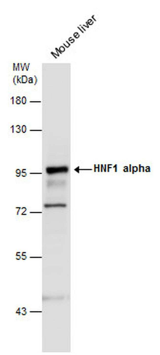 HNF1A Rabbit anti-Human, Mouse, Rat, Polyclonal, Invitrogen 100 µL;