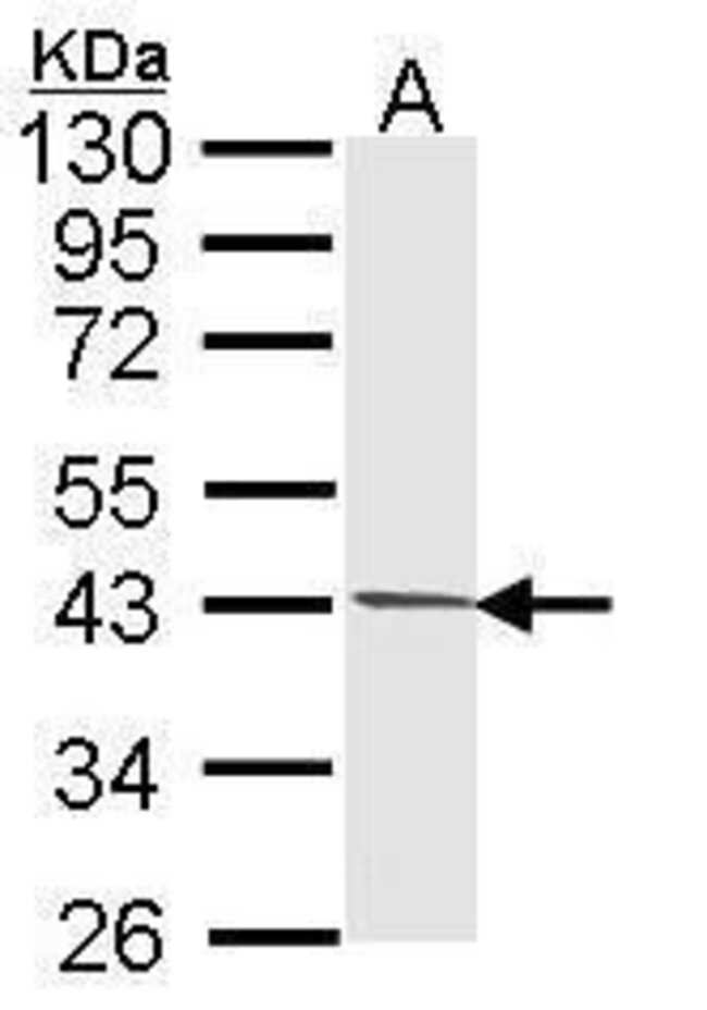 PIM2 Rabbit anti-Human, Mouse, Polyclonal, Invitrogen 100 µL; Unconjugated