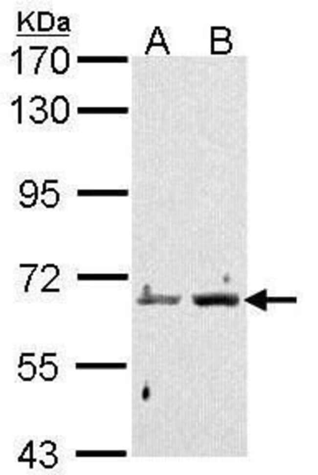 PADI4 Rabbit anti-Human, Polyclonal, Invitrogen 100 µL; Unconjugated