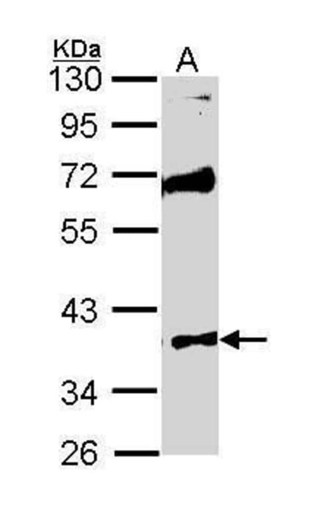 MST4 Rabbit anti-Human, Polyclonal, Invitrogen 100 µL; Unconjugated