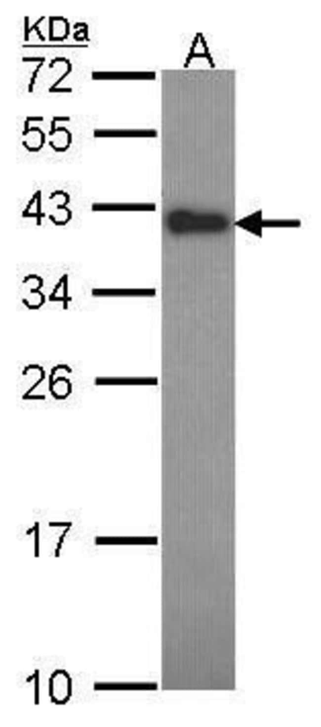 CIAPIN1 Rabbit anti-Human, Polyclonal, Invitrogen 100 µL; Unconjugated