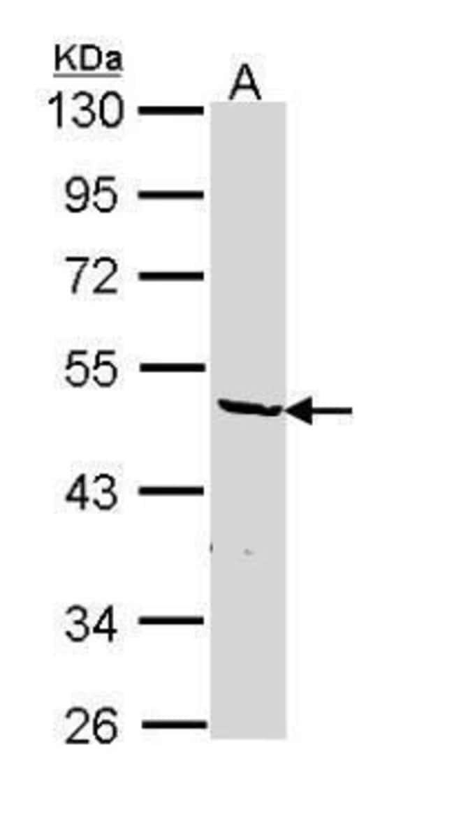 hnRNP F Rabbit anti-Human, Polyclonal, Invitrogen 100 µL; Unconjugated