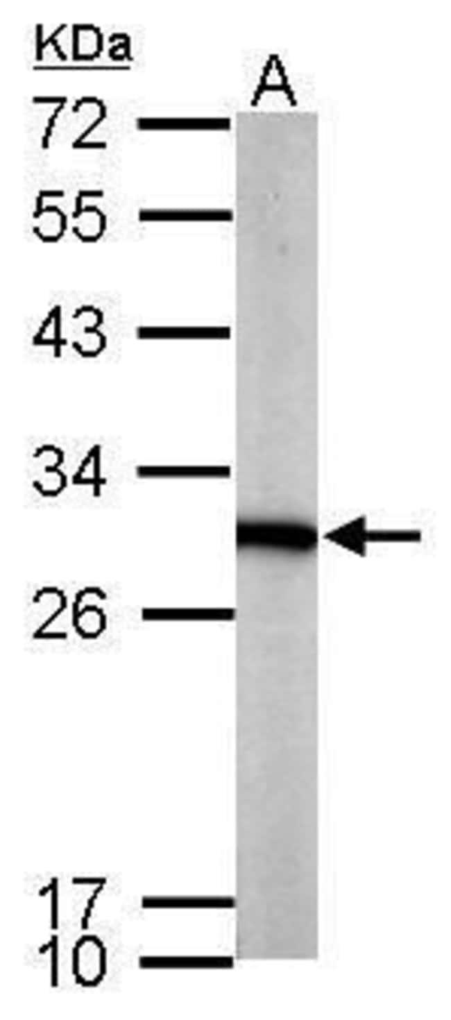 PGAM1 Rabbit anti-Human, Mouse, Polyclonal, Invitrogen 100 µL; Unconjugated