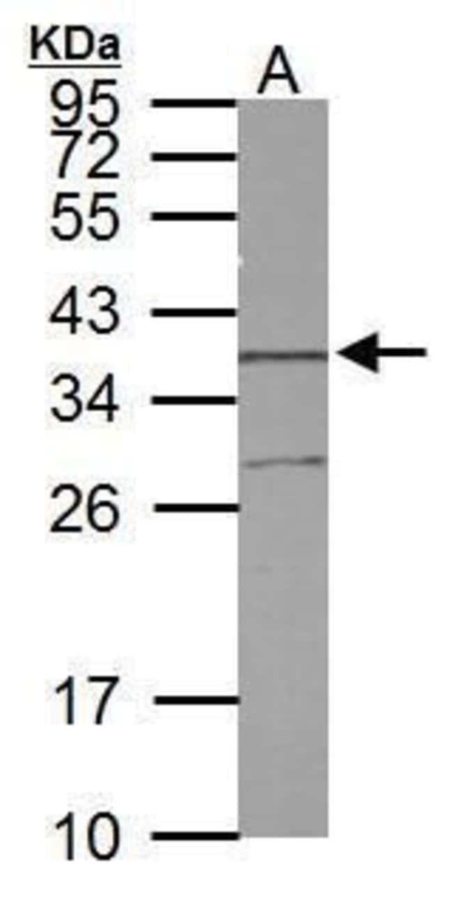 STX5 Rabbit anti-Human, Rat, Polyclonal, Invitrogen 100 µL; Unconjugated