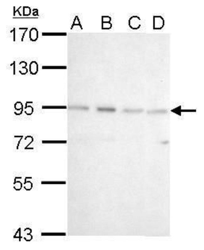 CSDE1 Rabbit anti-Human, Polyclonal, Invitrogen 100 µL; Unconjugated