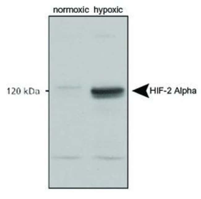 HIF-2 alpha Rabbit anti-Fish, Hamster, Human, Mouse, Non-human primate,