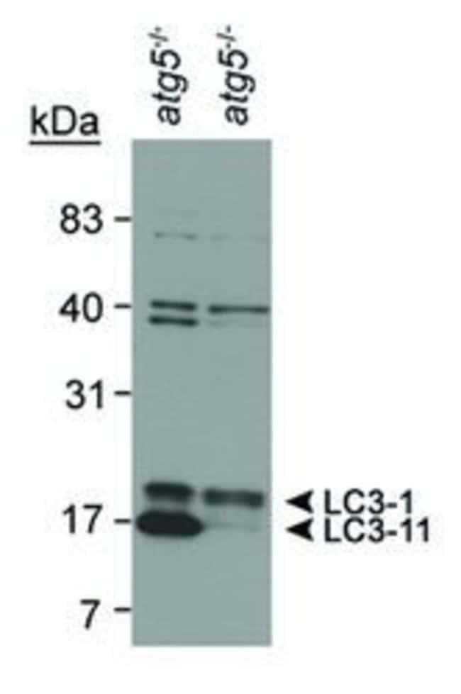 LC3B Rabbit anti-Bacteria, Bovine, Canine, Hamster, Human, Mouse, Non-human