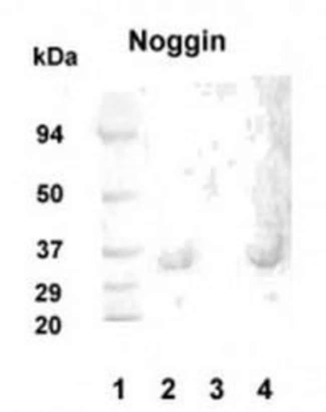 Noggin Rabbit anti-Human, Mouse, Rat, Polyclonal, Invitrogen 100 µg;