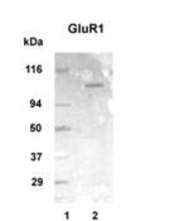 mGluR1 Rabbit anti-Human, Mouse, Rat, Polyclonal, Invitrogen 100 µg;