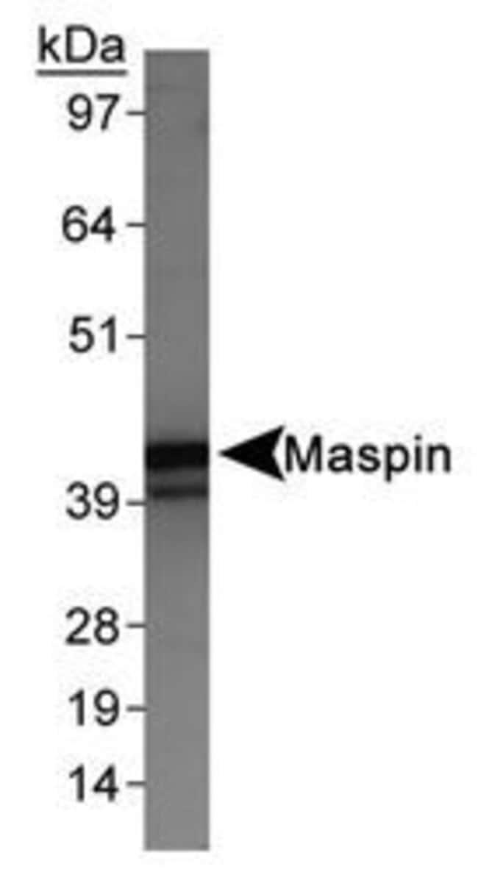 Maspin Rabbit anti-Human, Polyclonal, Invitrogen 100 µL; Unconjugated