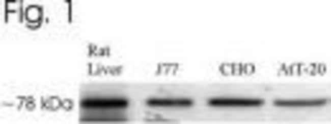 GRP78 Rabbit anti-Mouse, Rat, Polyclonal, Invitrogen 100 µL; Unconjugated