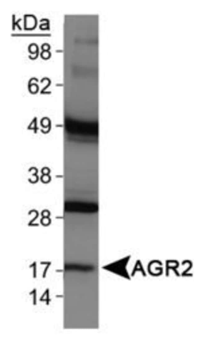 AGR2 Rabbit anti-Bovine, Human, Mouse, Polyclonal, Invitrogen 100 µL;