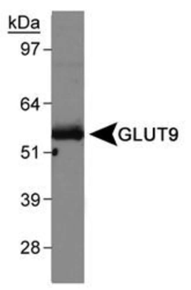 GLUT9 Rabbit anti-Human, Mouse, Polyclonal, Invitrogen 100 µL; Unconjugated