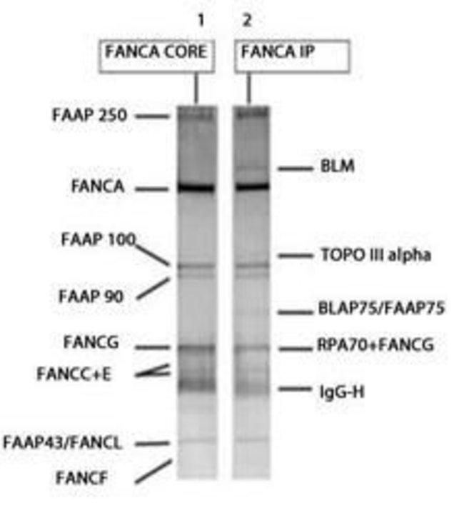 FANCA Rabbit anti-Human, Polyclonal, Invitrogen 100 µL; Unconjugated