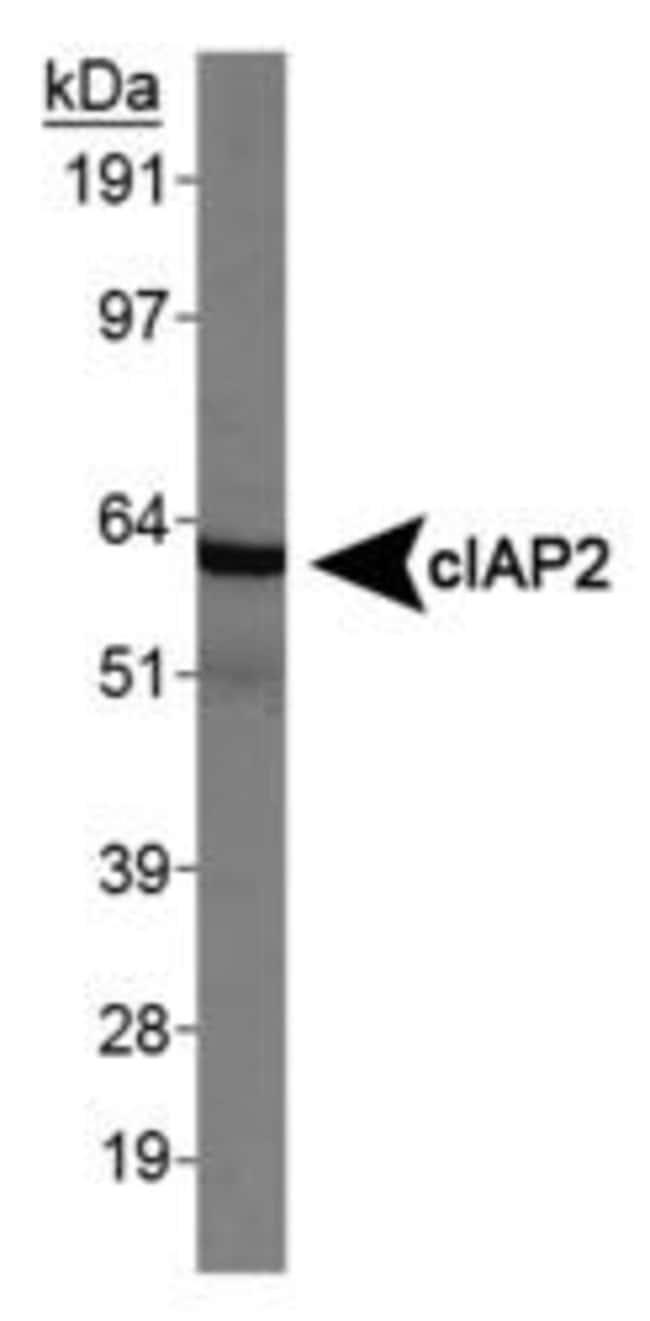cIAP2 Rabbit anti-Human, Polyclonal, Invitrogen 100 µL; Unconjugated
