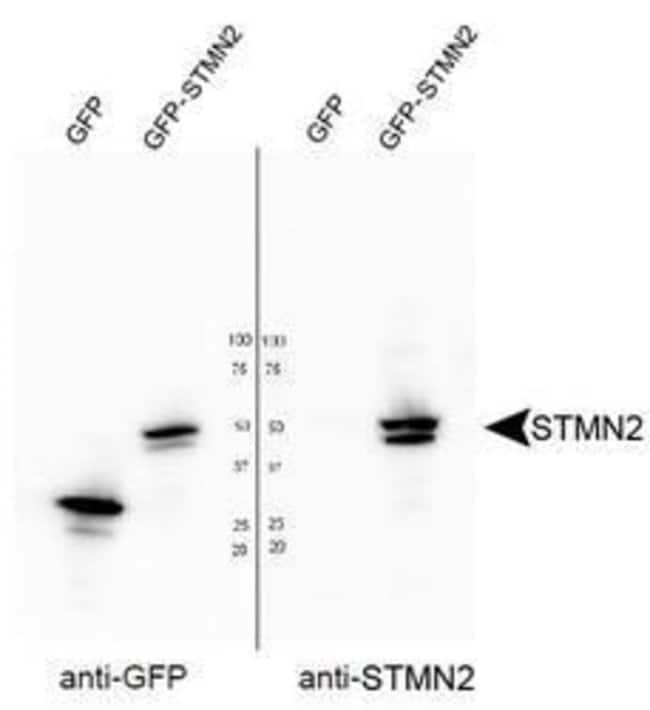 STMN2 Rabbit anti-Bovine, Human, Mouse, Rat, Polyclonal, Invitrogen 50