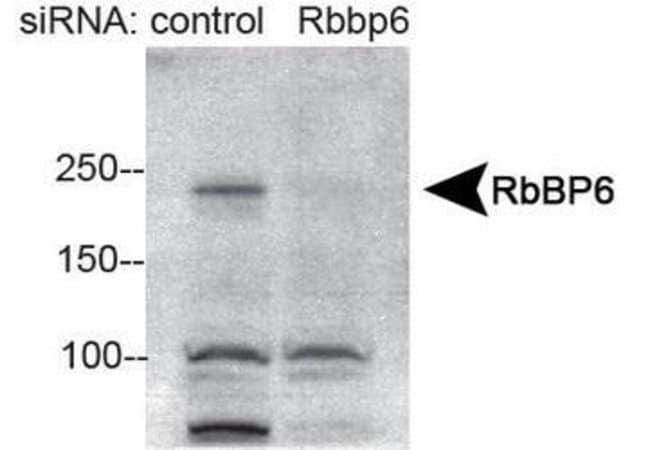 RBBP6 Rabbit anti-Human, Mouse, Polyclonal, Invitrogen 100 µL; Unconjugated
