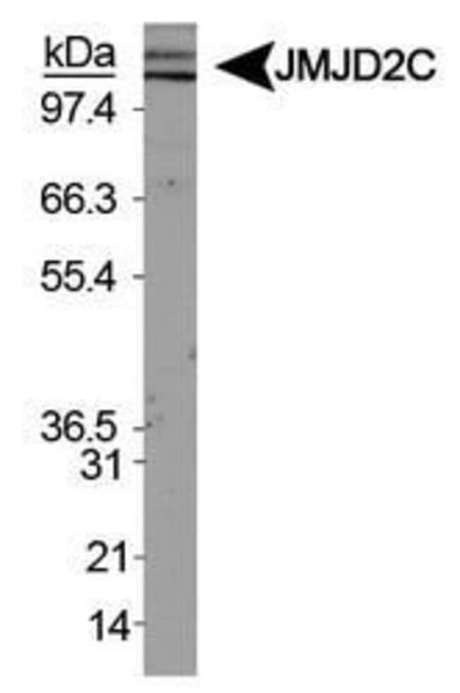 JMJD2C Rabbit anti-Human, Mouse, Polyclonal, Invitrogen 100 µL; Unconjugated