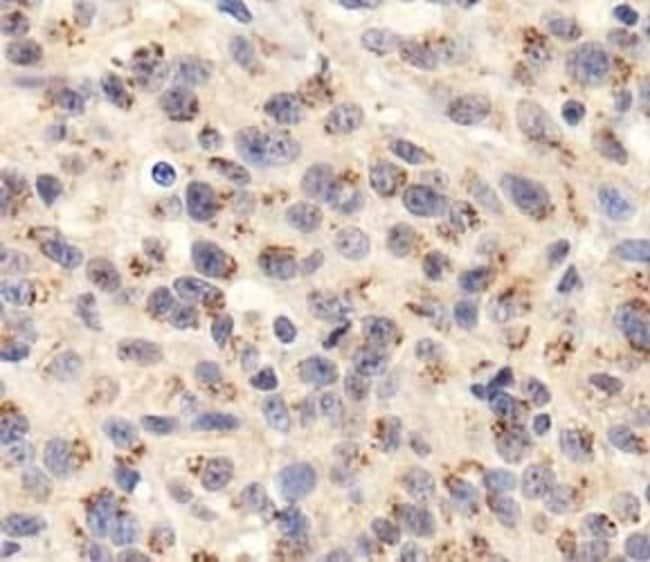 TGN46 Rabbit anti-Human, Polyclonal, Invitrogen 100 µL; Unconjugated