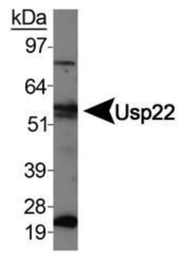 USP22 Rabbit anti-Human, Mouse, Polyclonal, Invitrogen 100 µL; Unconjugated