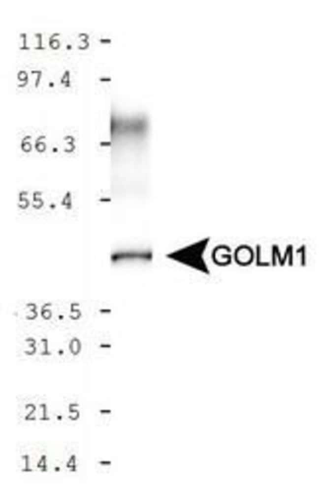 GOLPH2 Rabbit anti-Human, Mouse, Polyclonal, Invitrogen 100 µL; Unconjugated