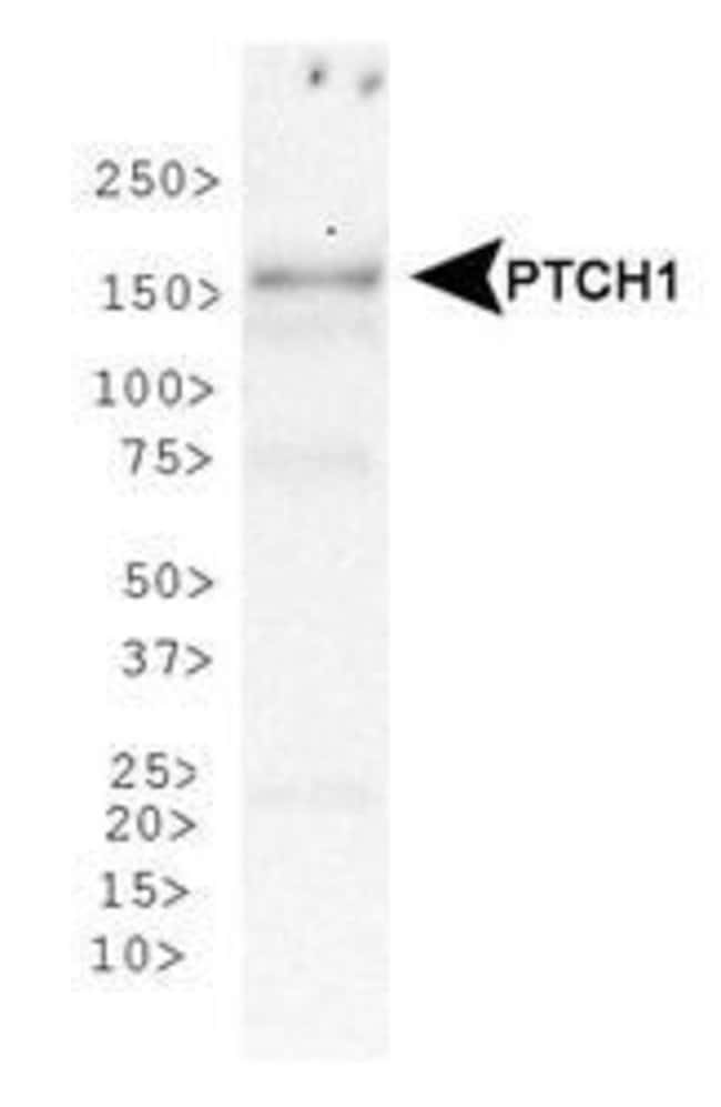 PTCH Rabbit anti-Human, Mouse, Polyclonal, Invitrogen 100 µL; Unconjugated