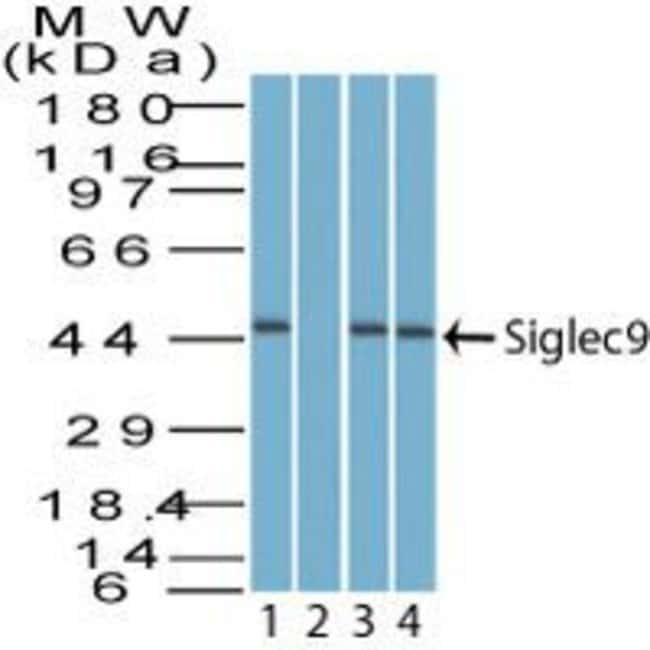 SIGLEC9 Rabbit anti-Bovine, Canine, Equine, Human, Non-human primate, Polyclonal,
