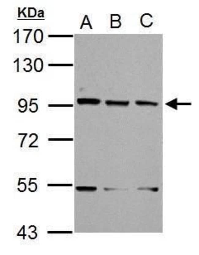 XAB2 Rabbit anti-Human, Mouse, Polyclonal, Invitrogen 100 µL; Unconjugated