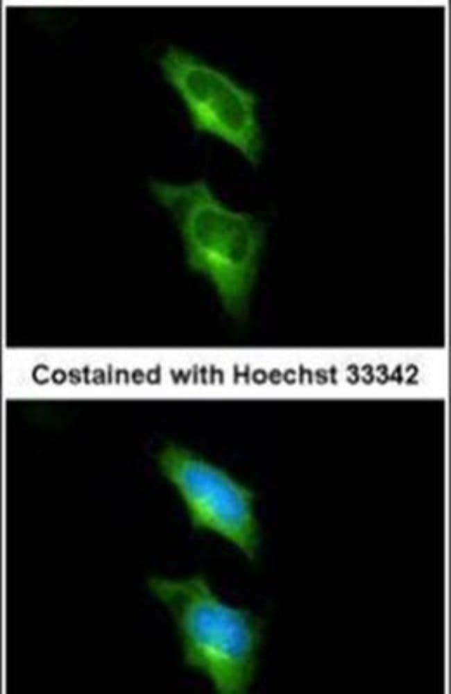 GPR82 Rabbit anti-Human, Polyclonal, Invitrogen 100 µL; Unconjugated