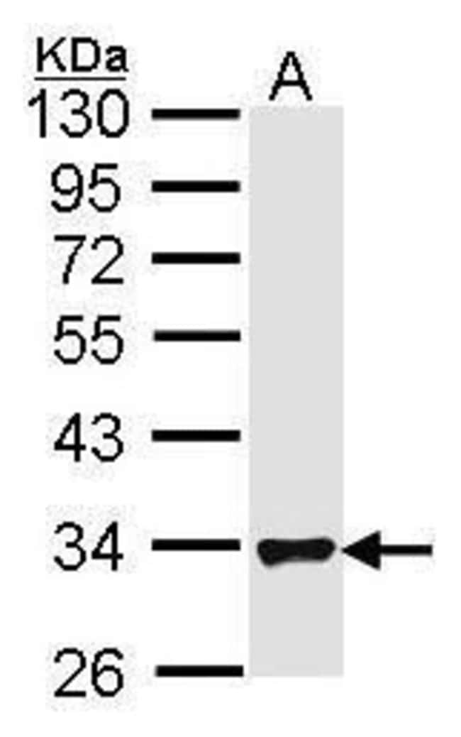 FHL1 Rabbit anti-Human, Polyclonal, Invitrogen 100 µL; Unconjugated