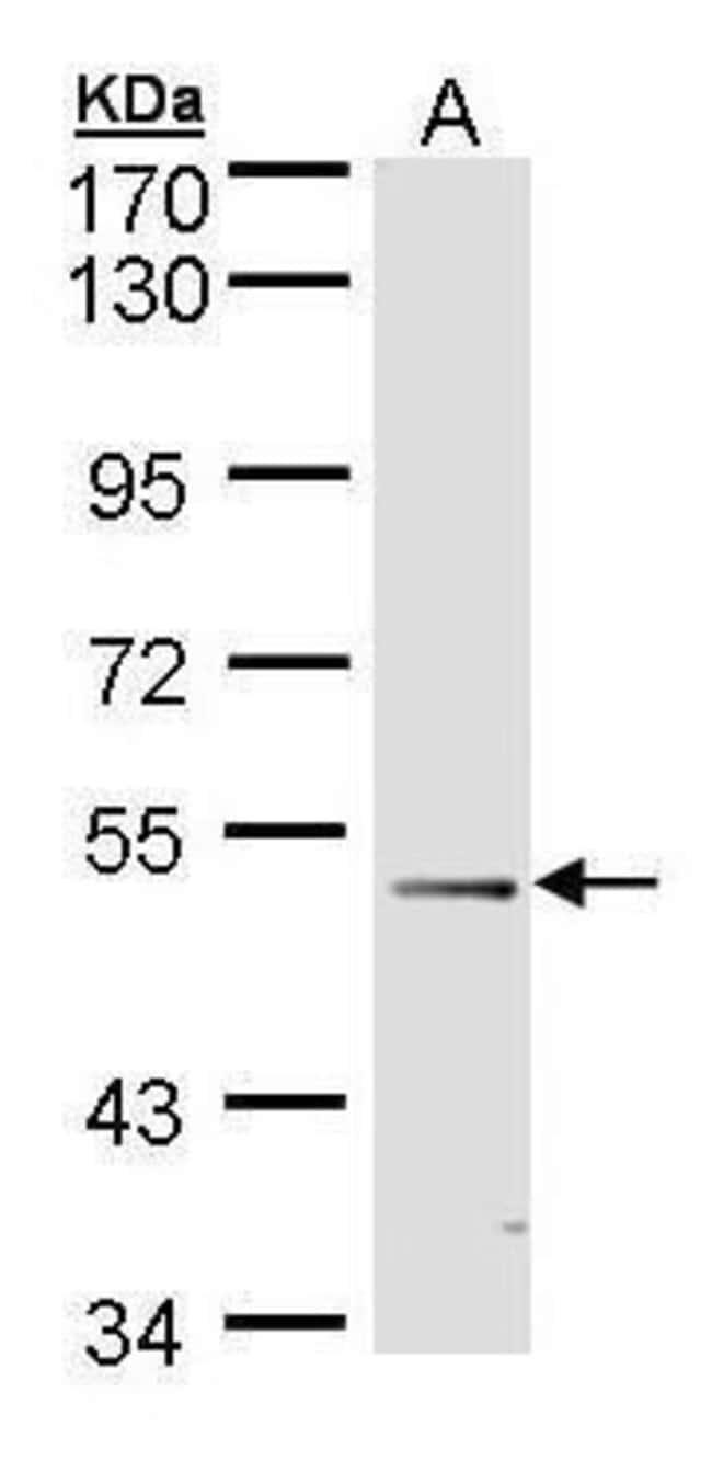 FOXD1 Rabbit anti-Human, Polyclonal, Invitrogen 100 µL; Unconjugated