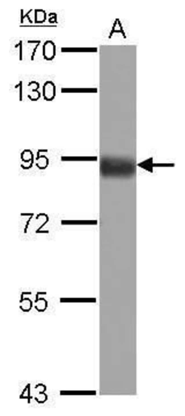 FOXO3A Rabbit anti-Human, Mouse, Polyclonal, Invitrogen 100 µL; Unconjugated