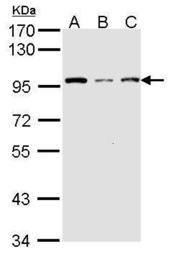GCN5 Rabbit anti-Human, Polyclonal, Invitrogen 100 µL; Unconjugated