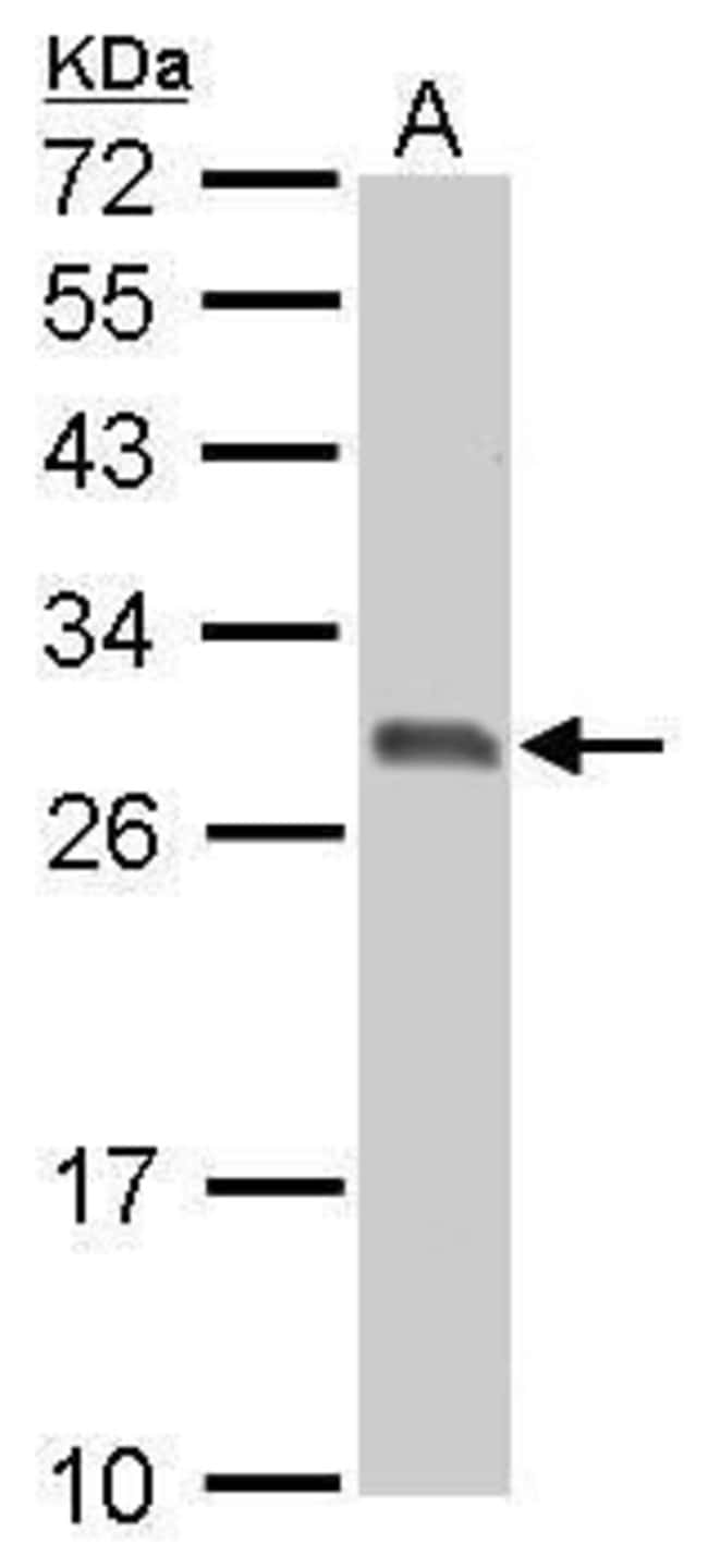 14-3-3 sigma Rabbit anti-Human, Mouse, Rat, Polyclonal, Invitrogen 100