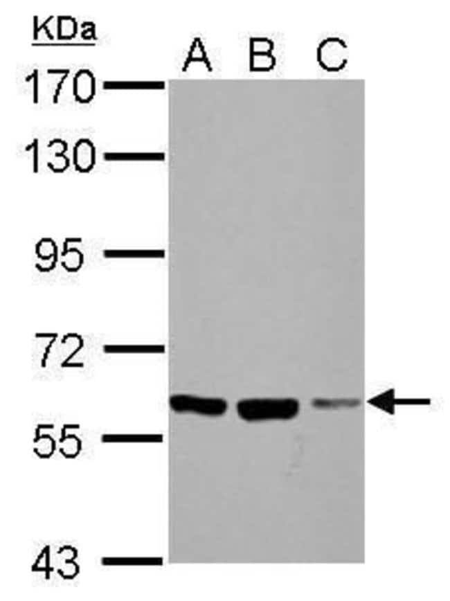 FZD10 Rabbit anti-Human, Mouse, Polyclonal, Invitrogen 100 µL; Unconjugated