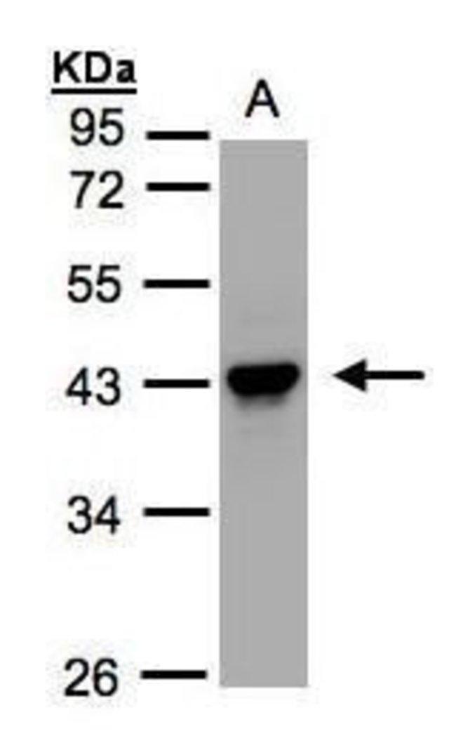 Maspin Rabbit anti-Human, Mouse, Polyclonal, Invitrogen 100 µL; Unconjugated