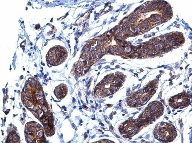 p130Cas Rabbit anti-Human, Mouse, Polyclonal, Invitrogen 100 µL; Unconjugated
